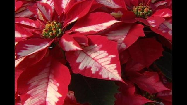North Texas Rehab Center Poinsettia Sale Almost Over