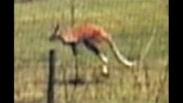 Escaped Kangaroo Leads Florida Deputies on Wild Chase