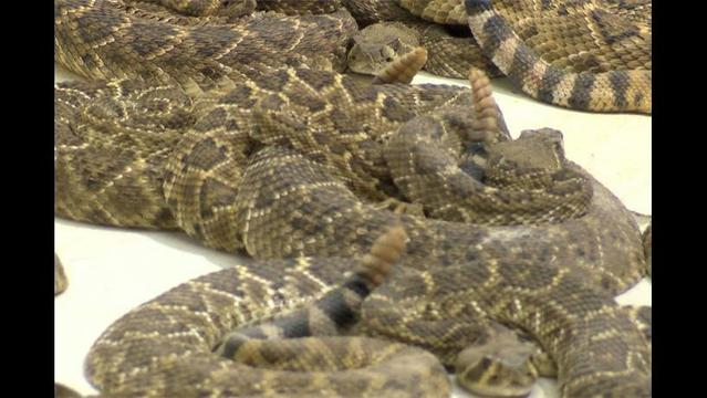 Crowds Slither to Waurika Rattlesnake Hunt
