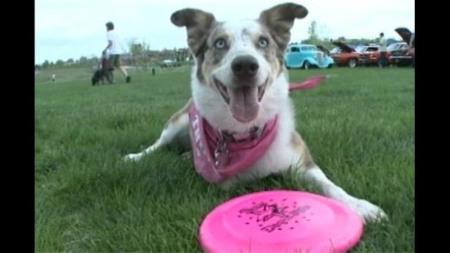 Three-Legged Dog Wows the Crowd at Frisbee Competition