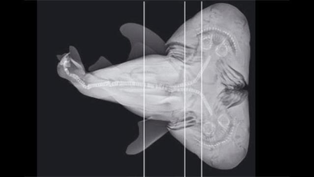 Double-Headed Shark Fetus Caught by Fisherman