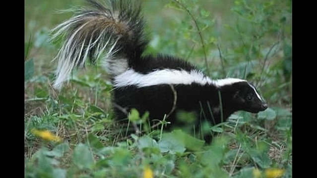 Skunk Captured in Wichita Falls Tests Postive for Rabies