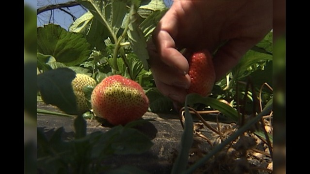 Late March Freeze Puts the Freeze on Strawberry Picking at Young's Orchard