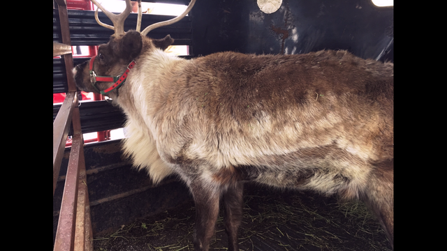 18-Wheeler Carrying Reindeer Crashes Near Sweetwater-Deer Are Reported