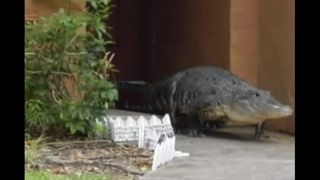 Giant Gator Captured At Front Door Of Florida Home